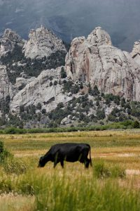 Cow grazing in pasture at Castle Rocks State Park