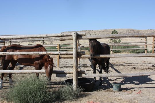 horses behind wooden fence