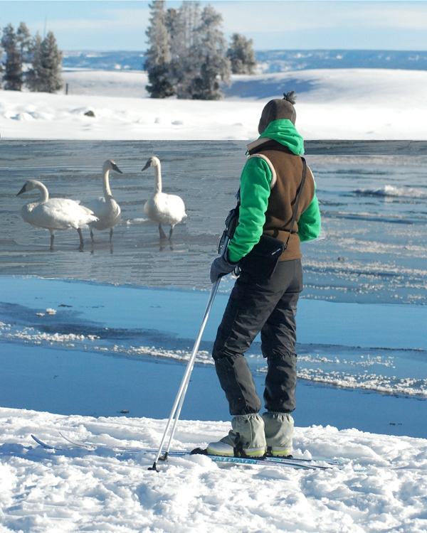 swans and person near water and snow