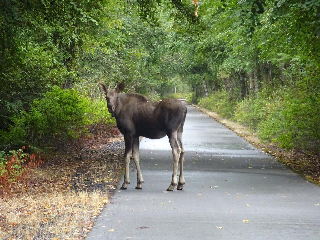 moose on paved path