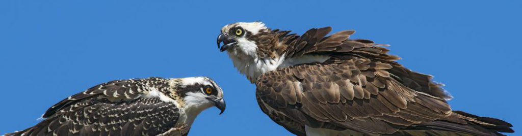 Ospreys in nest